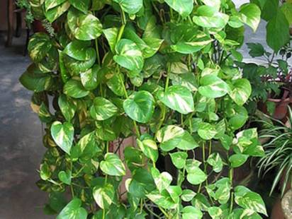 Plants absorb toxins from indoor air for Large non toxic house plants